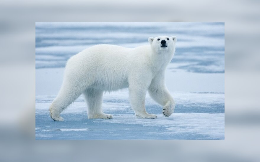 В Норвегии гида оштрафовали на $1,5 тысячи за запугивание белого медведя