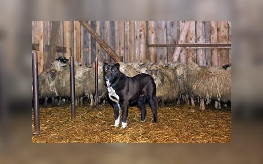 """Vilkogaudė Žakut gyvena kartu su avimis / """"Mano ūkis"""" nuotr."""