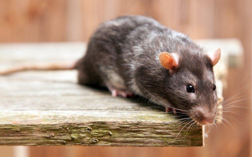 Доклад: беженцев в Британии селят в домах с крысами и насекомыми
