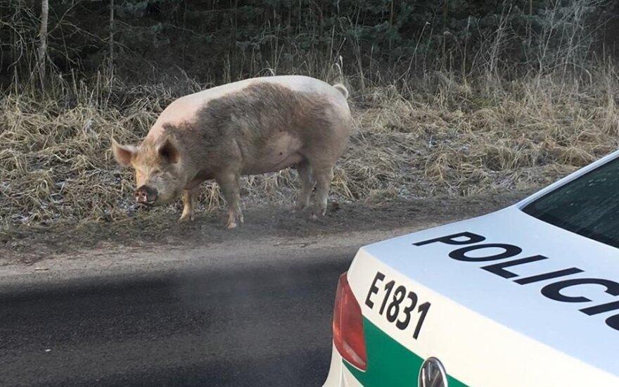 Pabėgusi kiaulė
