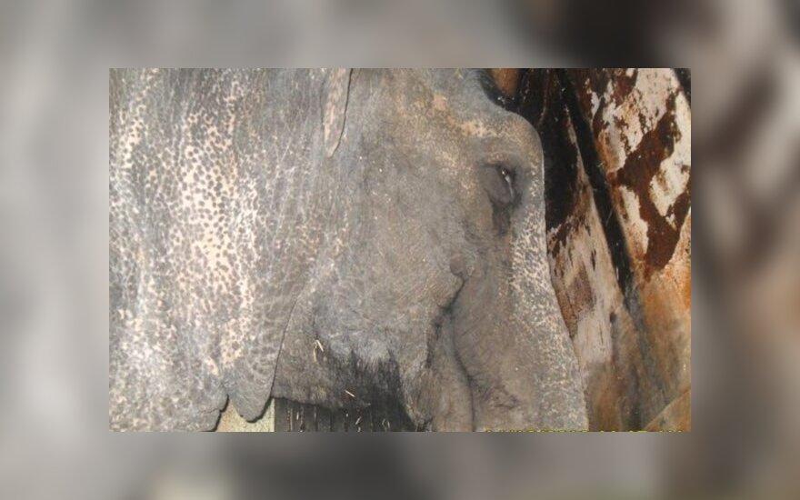 Слоны в Сибири спаслись от холода, выпив два ящика водки