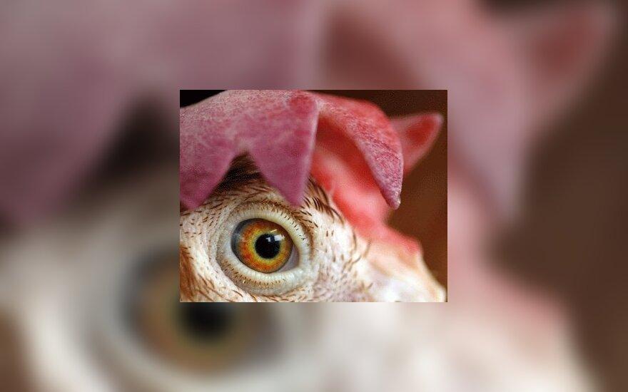 Из-за угрозы птичьего гриппа запрещен ввоз мяса птицы из Франции