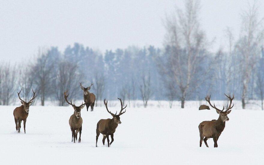 В оленеводческом хозяйстве гибнут животные, подозревают отравление