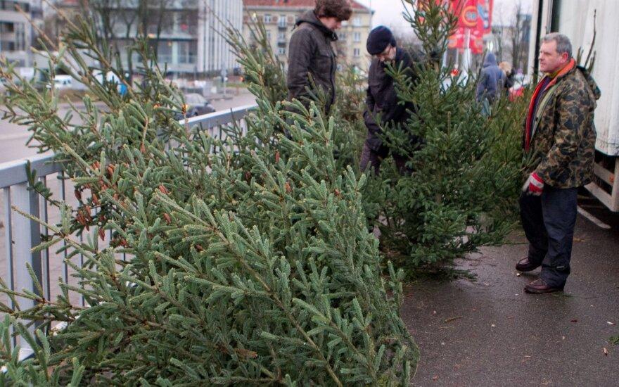 Лесничие в Литве начинают торговлю елками