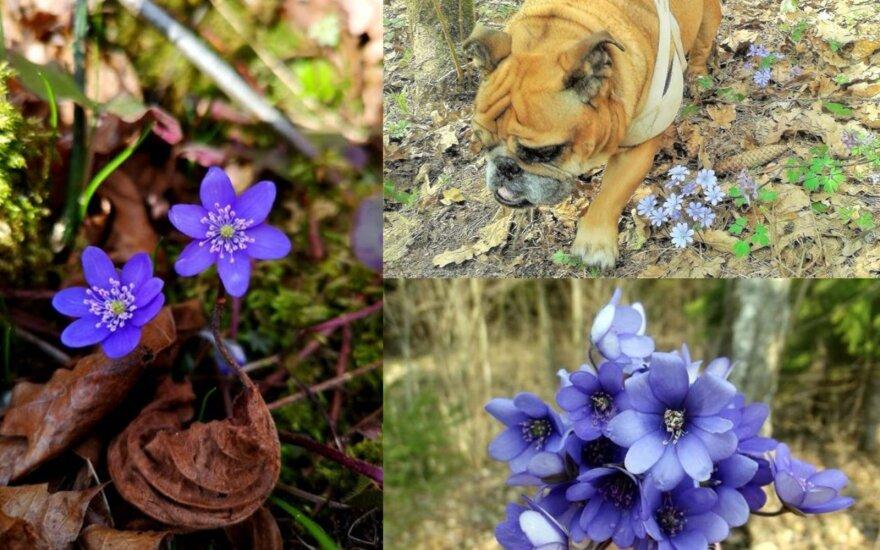 Читатели портала делятся первыми весенними цветами