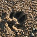 Šuns pėdos smėlyje