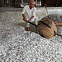 Žuvies perdirbimo cechas Pnompenyje