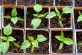 Durpių substratai augalams ne visada saugūs