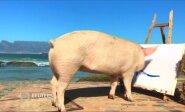 Skerdyklos išvengusi kiaulė Pigasso atsidėkoja tapydama paveikslus