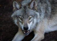 Pralaužę tvorą miestelio pašonėje vilkai išpjovė per trisdešimt vaikingų danielių patelių