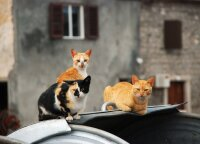 Šaltuoju sezonu pristabdoma benamių kačių sterilizacijos programa