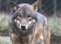 Vilkų medžioklė tęsiasi – kaip sekasi šauliams