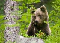 Aukštaitijoje užfiksuota meška – žvėris tikrino medžiotojų valdas