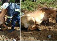 Įstrigusio arklio gelbėjimas – teko daužyti cementą, iš ūkininko skolintis techniką