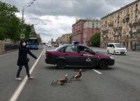 Pareigūnai sustabdė eismą, kad antys galėtų saugiai kirsti Maskvos gatvę