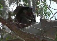 Koalų gelbėtojos: Australijoje gyvūnams į pagalbą skuba savanorės