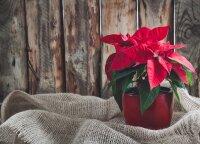 Dažnuose namuose Kalėdų žvaigždė antrąkart nesuraudonuos: štai kokios klaidos šį augalą pražudo