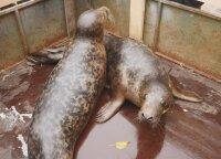 Į laisvę paleisti ruoniukai pradeda naują gyvenimą: kur jie plauks ir koks likimas jų laukia