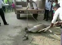 Išgelbėtas didžiulį grobį prarijęs tigrinis pitonas