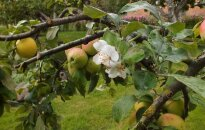 Rugsėjį pražydo... obelis