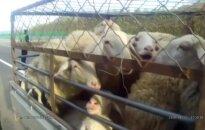 Vairuotojas nubaustas už tai, kad salone vežėsi 10 avių