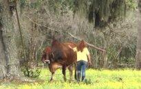 Santuoką išaugojusi moteris veganė ūkį pavertė karvių rojumi