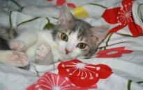 Kačiukas Gnomiukas