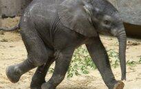10 savanaudiškų priežasčių, kodėl būtina gelbėti dramblius