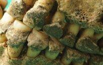 Mumijų tyrimų maratonas: ką slepia mirusiųjų palaikų dantų akmenys?