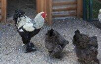 VMVT paukščių augintojus perspėja apie paukščių gripo protrūkį