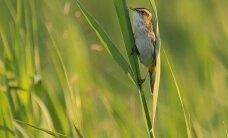 Šių paukščių Lietuvoje – vos 106 giedantys patinėliai