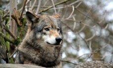 Rokiškyje siautėja vilkai