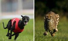 Greičiausias pasaulio šuo prieš greičiausią pasaulio katę