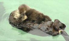 Kalifornijos jūrų muziejaus lankytojus žavi mielas ūdriukas