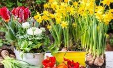 Gėlių sodinimo ir persodinimo pradžiamokslis