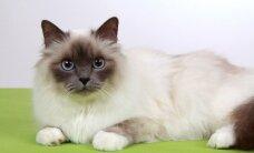 Katė su pirštinaitėmis, pakerėjusi net Karlą Lagerfeldą