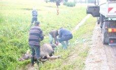 Rokiškėnai sukrėsti - briedė metėsi ant automobilio, kad išgelbėtų jauniklį