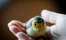 Mėlynosios zylutės jauniklis