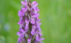 Pats metas susipažinti: lietuviškos orchidėjos