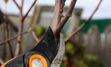 Vyšnių genėjimo ypatumai