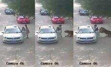 Kinijoje tigras užpuolė moterį
