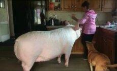 Anekdotinė situacija: kaip nykštukinis paršiukas virto gigantiška kiaule