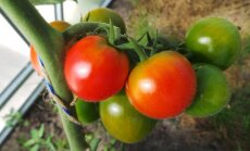 Pomidorų veislės, kurios visuomet džiugins derliumi