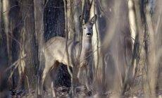 Stirna Černobylio ekologiniame rezervate (30 km nuo Černobylio miesto)