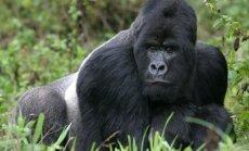 Gorila Ruandoje