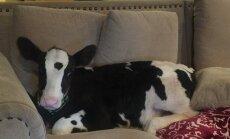 Karvė ant sofos