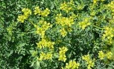 """""""Garden Style"""": augalas, kuris vertas sugrįžti į gėlynus dėl savo ypatingų savybių"""