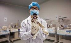 Kunminge, Kinijoje, esančioje Centrinėje Junano primatų biomedicinos tyrimų laboratorijoje Inas Džou rodo krabaėdžių makakų jauniklį, užaugintą iš CRISPR metodu pakeisto embriono.