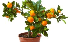 Pavyks beveik kiekvienam: mandarinmedis – iš kauliuko!
