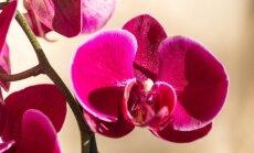 Kaip išvengti esminių orchidėjų laistymo klaidų